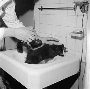 Skunk In Sink