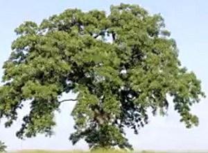 Oak-tree-
