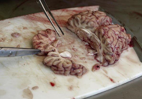 Cow Brains