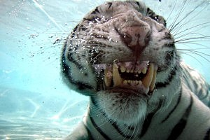Rare White Tiger Swims For His Supper