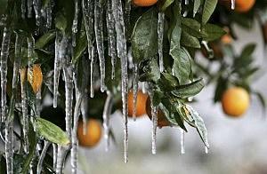 Freeze Damaged Plants