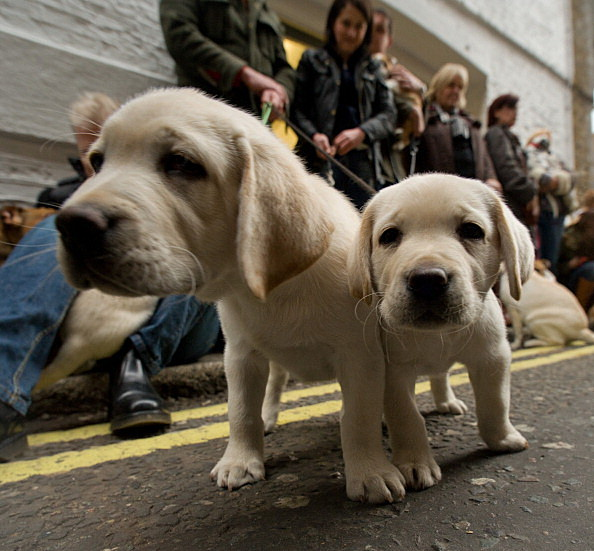 Andrex Puppy Casting