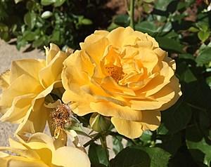 Rose Flower Pollen